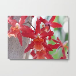 Exquisite Epidendrum Orchids Metal Print