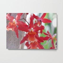 Exquisite Epidendrum Orchids Metal Print