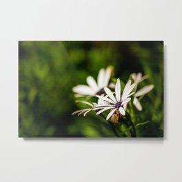 White and Purple Osteospermum Metal Print