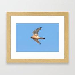 Common Kestrel (Falco tinnunculus). Common Kestrel in flight Framed Art Print