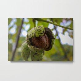 Walnut harvest time Metal Print
