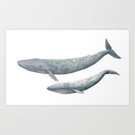 Blue whales (Balaenoptera musculus) - Blue whale Art Print