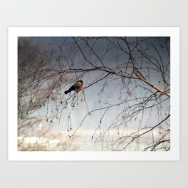 bullfinch, gil Art Print