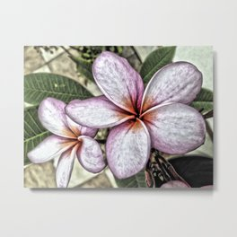 Frangipani flowers, St. Croix, U.S. Virgin Islands 2013 Metal Print