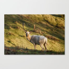 The White Hart Canvas Print
