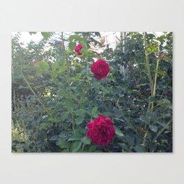 Huntington Roses: I Canvas Print