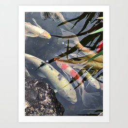 These koi aren't very coy Art Print
