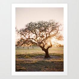 Lone Oak at Golden Hour / Florida Fine Art Film Photography Art Print