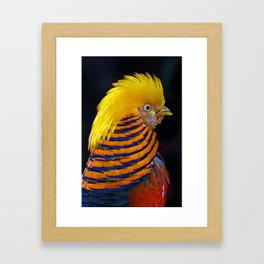 Golden pheasant Framed Art Print