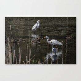 Three Great Egrets Among the Ducks, No. 2 Canvas Print