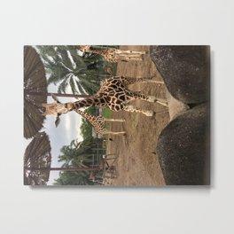 Cute giraffe in a zoo, Malaysia Metal Print