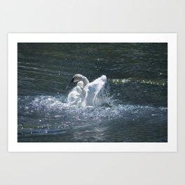 Swan's Lake - Preening Trumpeter Swan Art Print