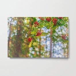 Bunches of rowan berries Metal Print