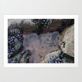Pink Ocean Rock Pool with Mussels Art Print