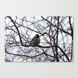 Curious Chickadee Canvas Print