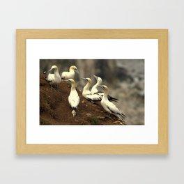 The gannet colony at Bempton Cliffs, UK Framed Art Print