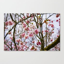 Cherry Blossom Tree just Starting to Bloom in the Spring in Amsterdam, Netherlands Canvas Print