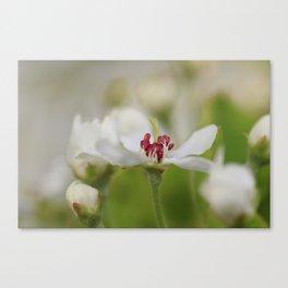 Macro Korean Sun Pear Blossom 2 Canvas Print