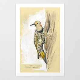 Yellow-shafted Flicker Art Print