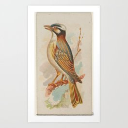 Chinese Bulbul, from the Song Birds of the World series (N23) for Allen & Ginter Cigarettes Art Print