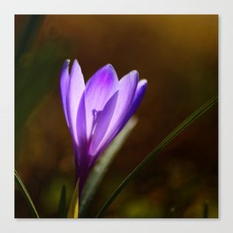 Bright Purple Spring Crocus Canvas Print