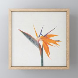 Bird of Paradise Framed Mini Art Print