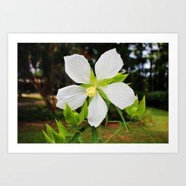 White Swamp Hibiscus Art Print