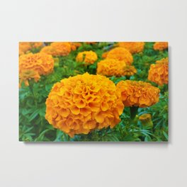 Marigolds in Spring Metal Print