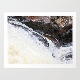 Leaping Atlantic salmon salmo salar Art Print