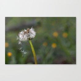 Colourful dandelion Canvas Print