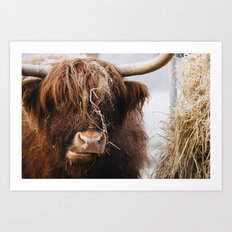 Highland cow feeding on straw on a frosty winters morning. Norfolk, UK. Art Print