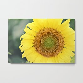sunflower beauty no. 3 Metal Print