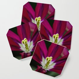 Closeup of a Wide Open Magenta Tulip with Stigma in the Center in Amsterdam, Netherlands Coaster
