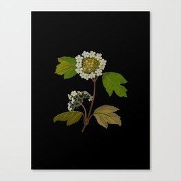Viburnum Opulus Mary Delany Delicate Paper Flower Collage Black Background Floral Botanical Canvas Print