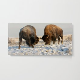 BISON FIGHTING Metal Print