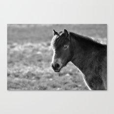 Pony on Exmoor Canvas Print