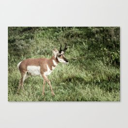 North American Wildlife - Pronghorn Antelope Canvas Print
