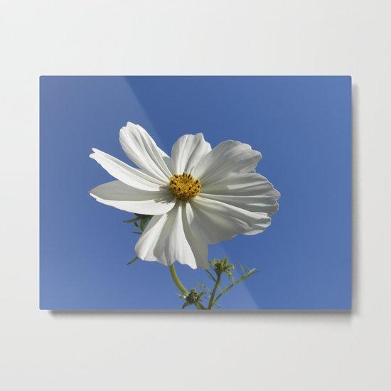 white cosmos flower IX Metal Print