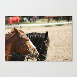 Black & Brown Horses Canvas Print