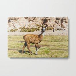 Curious llama in Bolivia Metal Print