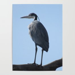 Great Blue Heron with a bird's eye view Poster