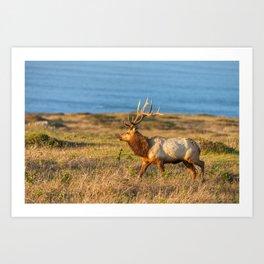 Tule Elk Bull Art Print