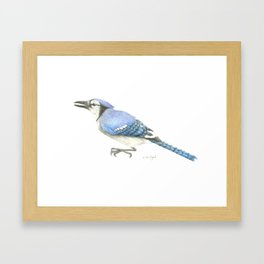 Blue Jay Study in Colored Pencils Framed Art Print
