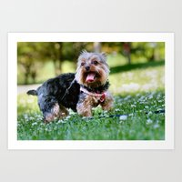 yorkie Art Prints featuring Darling Yorkie by IowaShots