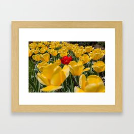 Many yellow tulips and one red Framed Art Print