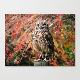 Owl in Germany Wildpark Daun Canvas Print