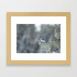 Blue Jay in Algonquin Park Framed Art Print