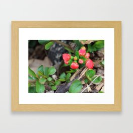Japonica buds Framed Art Print