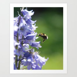 Bee on Bluebells Art Print