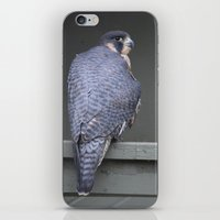 falcon iPhone & iPod Skins featuring Falcon by Sarah Shanely Photography